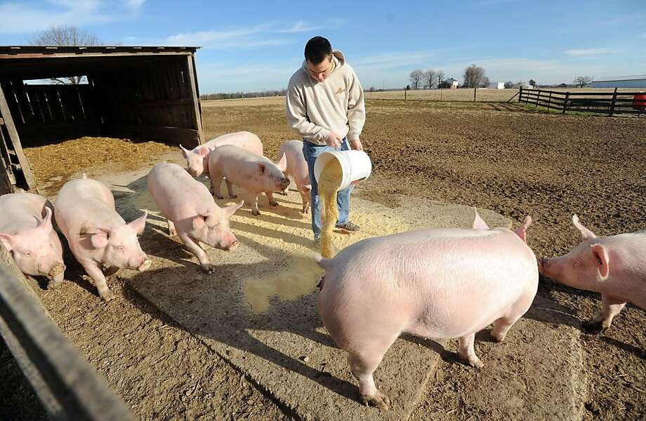 George Bittel, 17, pours feed out for eight head of purebred Yorkshire gilts Saturday, Dec. 28, 2013, at Bittel Farms, in Owensboro, Ky. The farm also produces cattle, tobacco, soybeans, corn and wheat. (AP Photo/The Messenger-Inquirer, John Dunham) Photo: John Dunham, Associated Press