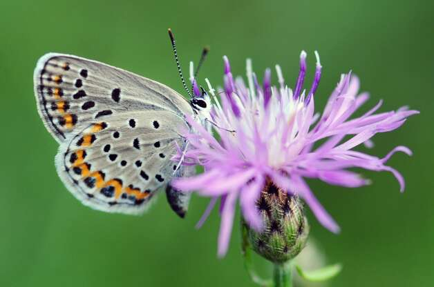 A Karner Blue butterfly is seen feasting on a flowering plant Monday afternoon, July 15, 2013, in the Pine Bush Preserve off of Kings Rd. in Guilderland, N.Y. (Will Waldron/Times Union) Photo: WW, Albany Times Union