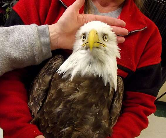 This bald eagle is one of four that were brought to a Utah rehabilitation center with body tremors and paralysis before they eventually died. Twenty bald eagles have died in the state in the past few weeks, and a new ailing eagle surfaces almost daily. Scientists say the birds were not shot by hunters or poisoned. Photo: Associated Press