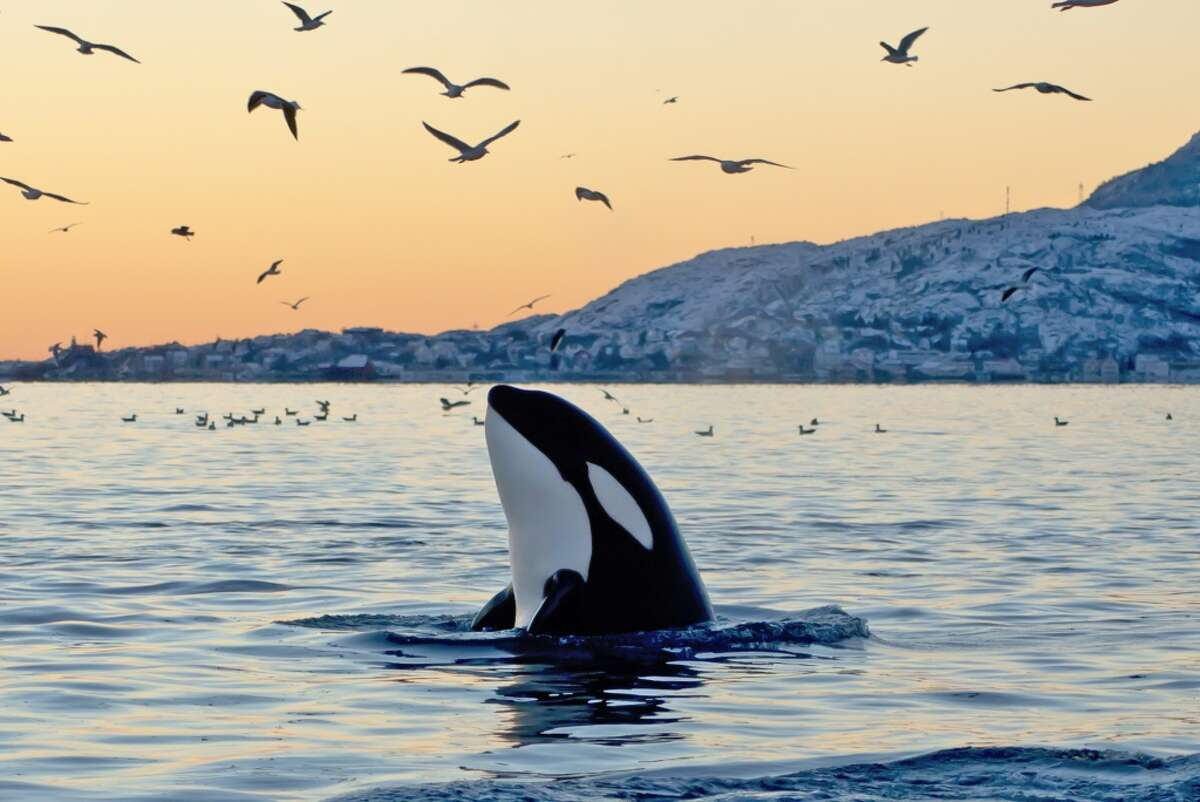 Endangered species Orcas (killer whales): Four babies were born this winter to the southern resident population of orcas (killer whales). But the great marine mammals remain listed as endangered due to the decline of the orcas' major food source -- chinook salmon. Chemical contamination poses a threat. A much greater danger looms. Expansion of a pipeline from Alberta to Burnaby, a suburb of Vancouver, could bring hundreds more oil tankers into inland waters. Canada is unprepared for a major (or minor) oil spill off southern Vancouver Island and in the Gulf Islands. B.C. and Canadian governments are panting to bring the carbon economy to the West Coast.