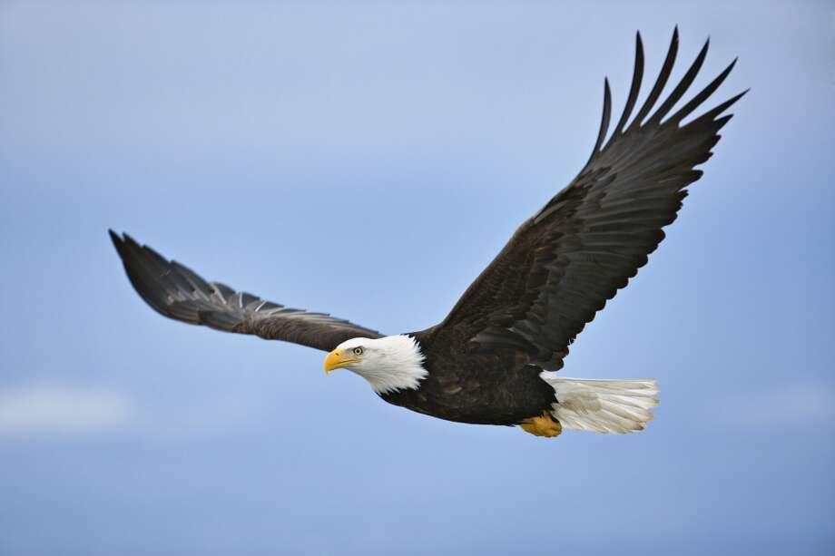"""Bald eagles are thriving. The major comeback story of America's national symbol is visible from the Skagit River to Whidbey Island to Seattle's Discovery Park. Just 105 pairs nested in Washington as of 1980. The number of occupied nests increased eightfold in the next 25 years, and numerous """"non-resident"""" eagles winter in the """"Magic Skagit.""""The banning of the pesticide DDT is a big part of eagle recovery.  So is a change of attitude in which the national symbol is no longer considered competition for salmon. Eagles are now a major tourist draw in the Skagit. Photo: Adam Jones, Getty Images"""
