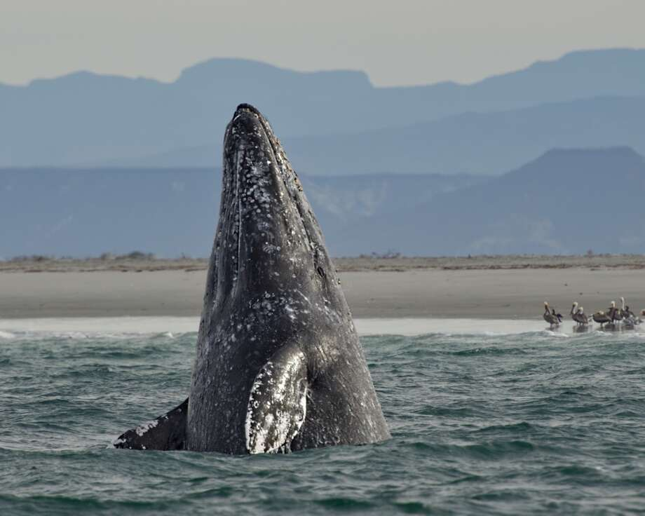 Gray Whales along the Eastern North Pacific are a major recovery story. The great marine mammals live well. They winter in Baja California, and migrate up the West Coast to feeding grounds in Alaska's Chukchi Seas. There are an estimated 18,000 of them. They will, however, have to coexist in the Chukchi will Shell Oil's drilling rigs and thd danger of a spill in ice-choked Arctic Waters. The Western North Pacific Population of gray whales, which migrates from Japan north to Arctic waters, is severely endangered.  A tagged gray whale was recently found to have undergone the world's longest migration, across the Pacific from Russia's Kamchatka Peninsula to Mexico's Baja.The Makah Indians set off controversy proposing to hunt gray whales. Other much greater potential dangers loom. One is oil drilling in the Chukchi Sea. The other is a proposed oil pipeline terminus at Kitimat deep in a fjord on British Columbia's north coast. The two proposed B.C. pipelines will draw 650 tankers a year according to a Canadian government study. Photo: Myer Bornstein - Photo Bee 1, Getty Images/Flickr RF