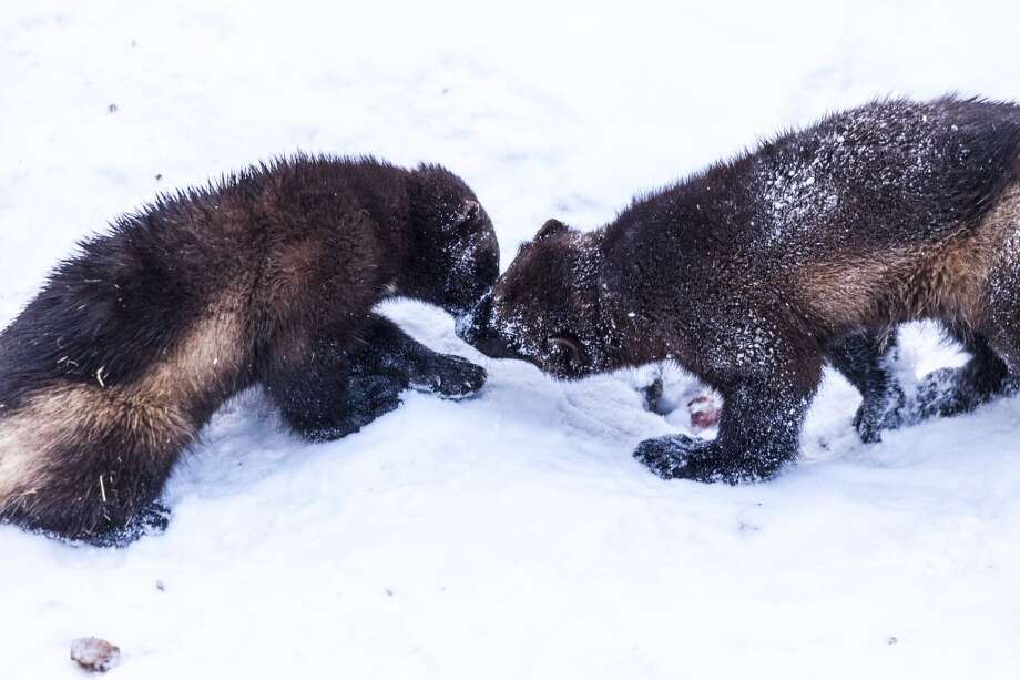 """Wolverines are the largest member of the weasel family, elusive creatures who live at high elevation and range over vast areas. Sen. Maria Cantwell, D-Wash., saw one through a spotter's scope in an Alaska trip two years ago.  """"Is this common?"""" she asked.  Answer: No.Wolverines appear to be repopulating the Washington Cascades, from Harts Pass near the U.S.-Canada border to areas around Mt. Adams. But they're an indicator species for climate change: If habitat changes, wolverines can't move any higher nor can their prey. Photo: Jenny Jones, Getty Images/Lonely Planet Images"""