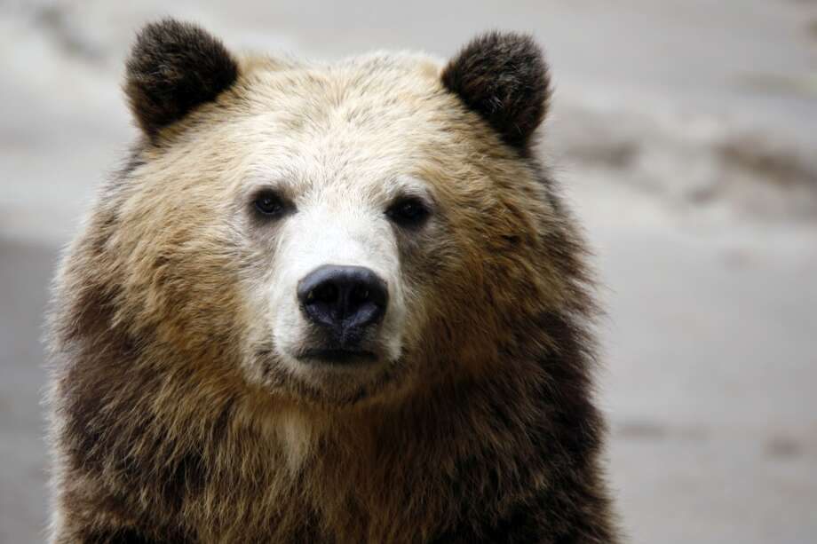 Grizzly bears have been killed off over 98 percent of their former habitat in the lower 48 states. State officials in Wyoming, Montana and Idaho are eager to see federal protection end, opening part of the remaining 2 percent to hunting. The U.S. Fish and Wildlife Service has been blocked from de-listing grizzlies in Montana and Wyoming. The federal agency recently held scoping sessions in Eastern and Western Washington on reintroduction of grizzlies to the North Cascades. Washington has a tiny population of grizzlies found in the the Selkirk Mountains of far northeast Washington. Photo: Geri Lavrov, Getty Images/Flickr Open