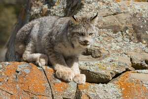The North American Lynx  got a break when, helped by Paul Allen, conservation groups ransomed 25,000 acres of the Loomis Forest in Okanogan County. It was targeted for logging. But the lynx remains threatened. Conflagrations like the 2006 Tripod Fire have claimed habitat. The lynx is adapted to cold temperatures and lives in boreal forests.    Snowshoe hares are the chief food for the lynx. Decimation of wolves has caused the coyote population to increase over much of the cats' habitat. The coyotes also feast on snowshoe hares.