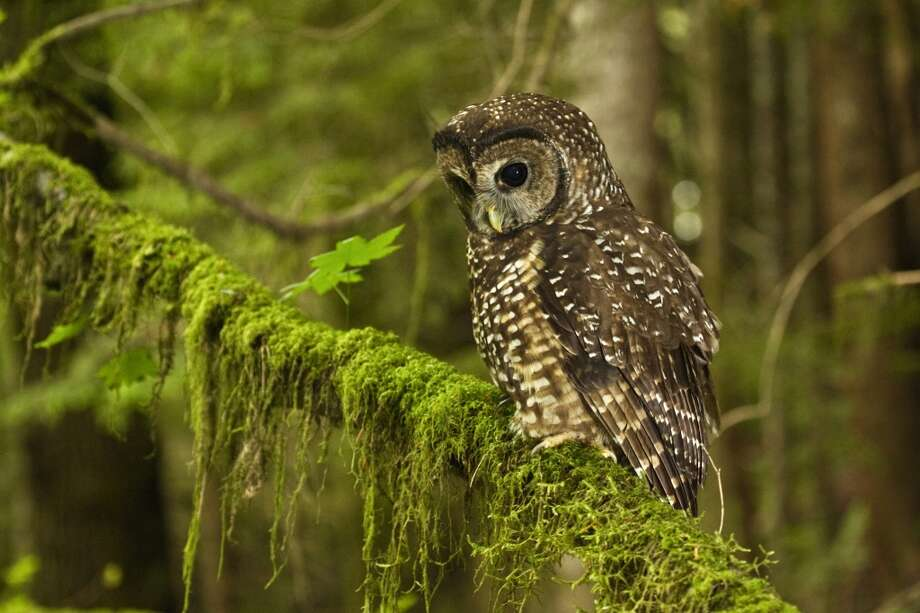 The Northern Spotted Owl used to be both an indicator species and a hated species in the Northwest:  Threats to its habitat forced the U.S. Forest Service to halt its 60,000-acre-a-year liquidation of old growth forests stop liquidating old growth forests on federal land.But the spotted owl has continued to decline, especially in Washington and Northern Oregon. Barred owls are moving in on its territory. The spotted owls' habitat in British Columbia continues to be logged extensively. A natural calamity -- the 1980 eruption of Mount St. Helens -- flattened 230 square miles of forest in prime owl habitat. Photo: Danita Delimont, Getty Images/Gallo Images