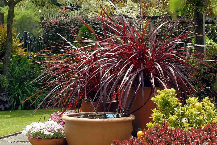 Cordylines aren't grasses but resemble the grass-like phormium varieties with sword-shaped leaves. Photo: Monrovia Growers
