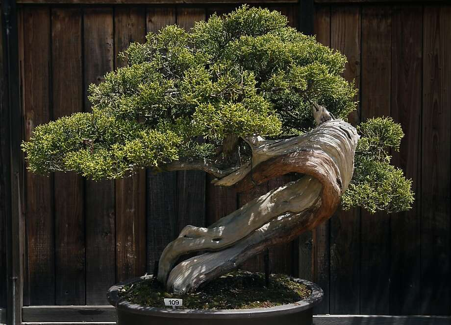 Bonsai techniques create artful miniaturized plants - such as this California juniper displayed at the Lake Merritt Bonsai Garden in Oakland - but they need a lot of care and should be kept outdoors. Photo: Paul Chinn, The Chronicle