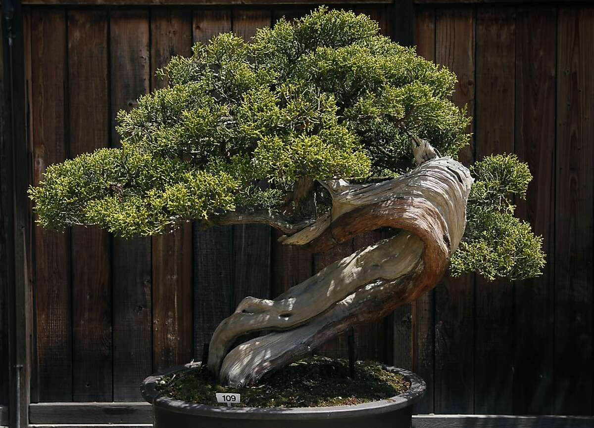 This California juniper, displayed at the Lake Merritt Bonsai Garden in Oakland, Calif. on Saturday, May 7, 2011, was collected in 1954 from the high desert region near Palmdale in southern California, and was styled in about 1964.