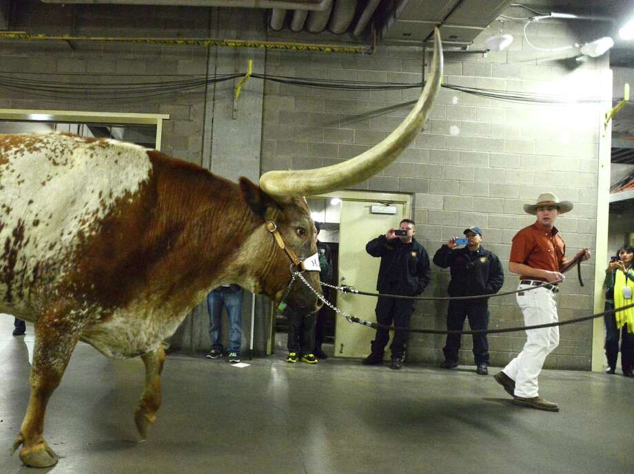 "The University of Texas mascot ""Bevo"" arrives at the Alamodome for the Valero Alamo Bowl on Monday, Dec. 30, 2013. Photo: Billy Calzada, San Antonio Express-News / San Antonio Express-News"