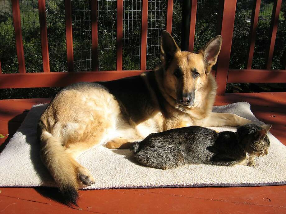 Marco the German shepherd and Krusty the Manx ate, played and slept together in their Fairfax home - but it was Krusty who ruled the roost. Photo: Susan Bailey