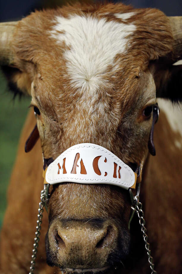 "Bevo wears a halter with the name ""Mack"" during the Valero Alamo Bowl with the Oregon Ducks Monday Dec. 30, 2013 at the Alamodome. Photo: Edward A. Ornelas, San Antonio Express-News / © 2013 San Antonio Express-News"