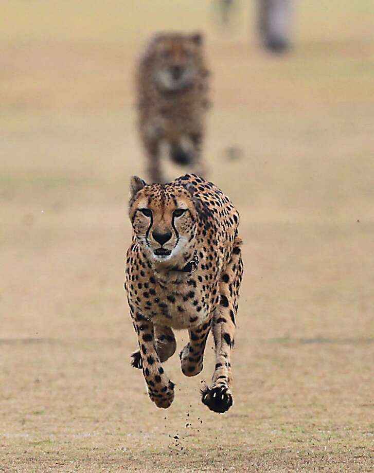 The Houston Zoo's two male cheetahs Kito and Kiburi running off leash at the Houston Dynamo's practice field located at Houston Sports Park Wednesday, Dec. 4, 2013, in Houston. Today is International Cheetah Day. Photo: James Nielsen, Houston Chronicle