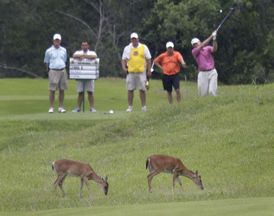 As deer graze, golfers play through during the Carlton Woods Invitational Thursday, May 9, 2013, in The Woodlands. Photo: Houston Chronicle
