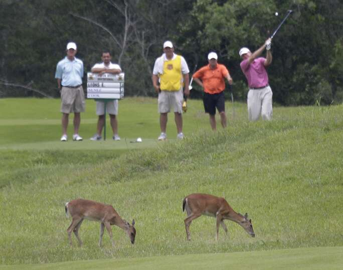 As deer graze, golfers play through during the Carlton Woods Invitational Thursday, May 9, 2013, in