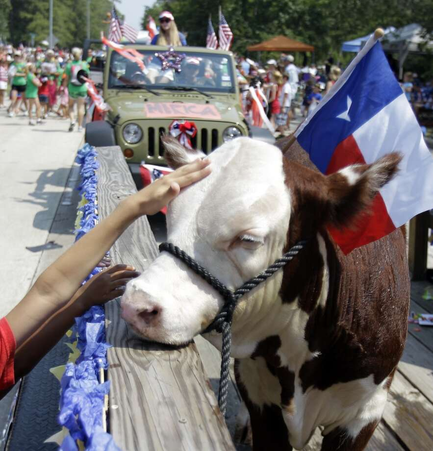 A Hereford steer named Buddy is petted by children as he rides on the Kingwood High School Future Farmers of America float during the Kingwood Civic Club 4th of July Parade Thursday, July 4, 2013, in Kingwood. Buddy is   owned by FFA member Angela Estrems, who is 16 and a junior at Kingwood High School. Photo: Houston Chronicle