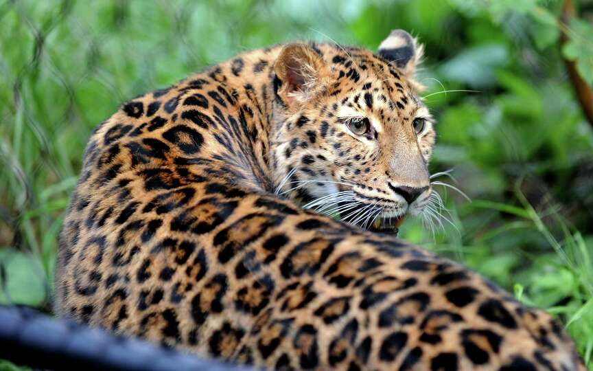 Sofiya, an Amur leopard, explores her new home at the Beardsley Zoo in Bridgeport, Conn. Thursday, J