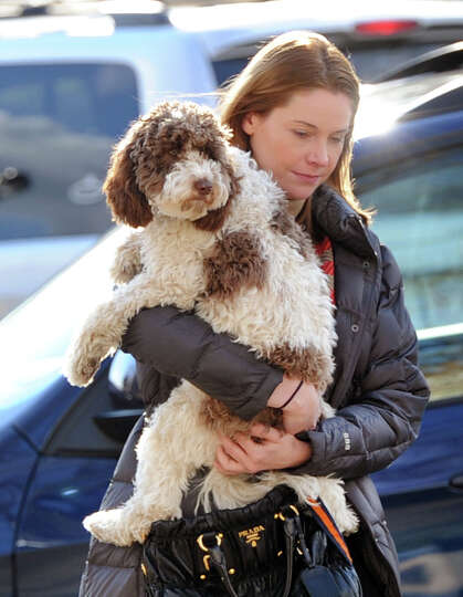 Sarah Aaronson of Greenwich gives a lift to Archie, her Miniature Australian Labradoodle, while walk