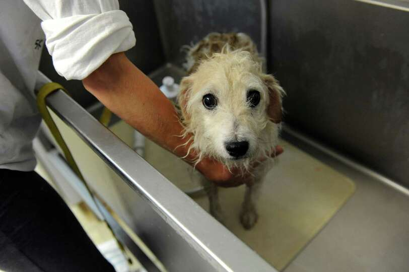 Snoppy came out of his bath; he  hasn't had one for a long time. His owner in Long Island had to giv