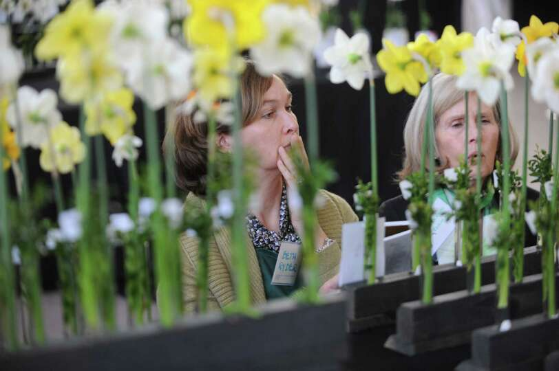 Judges look the daffodils at the Fifty-fifth annual Connecticut Daffodil Show and New England Region