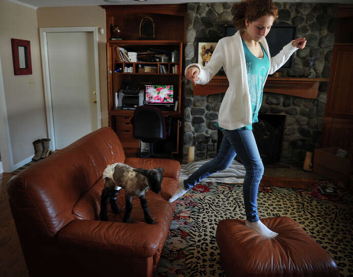 Sophia Tramuta, 16 of Milford, leads lamb Chihiro to jump from couch to ottoman at her home on Sunda