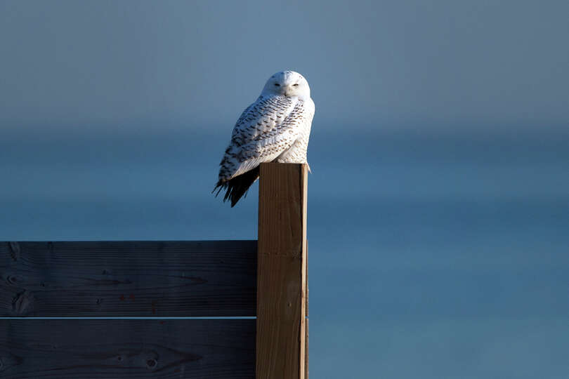 A Snowy Owl perches on a fence post as the sun sets at Long Beach Park, in Stratford, Conn., Dec. 21