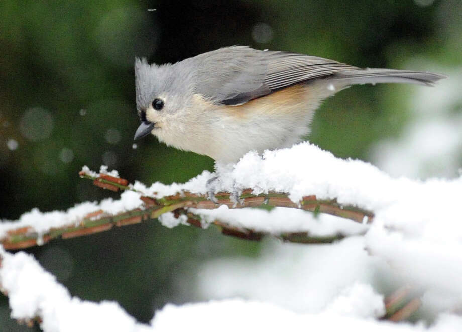 A Tufted Titmouse perched on the snow-coverd branch of a Byram Road home during the morning snow storm in Greenwich, Tuesday, Dec. 10, 2013. Photo: Bob Luckey / Greenwich Time