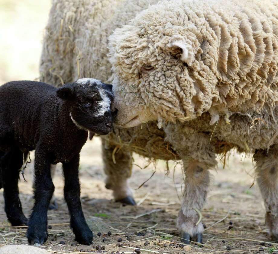 A recently-born Jacob/Babydoll mix lamb nuzzles its mother in the sheep pen at the Stamford Museum and Nature Center on Tuesday, April 9, 2013. Photo: Lindsay Perry / Stamford Advocate