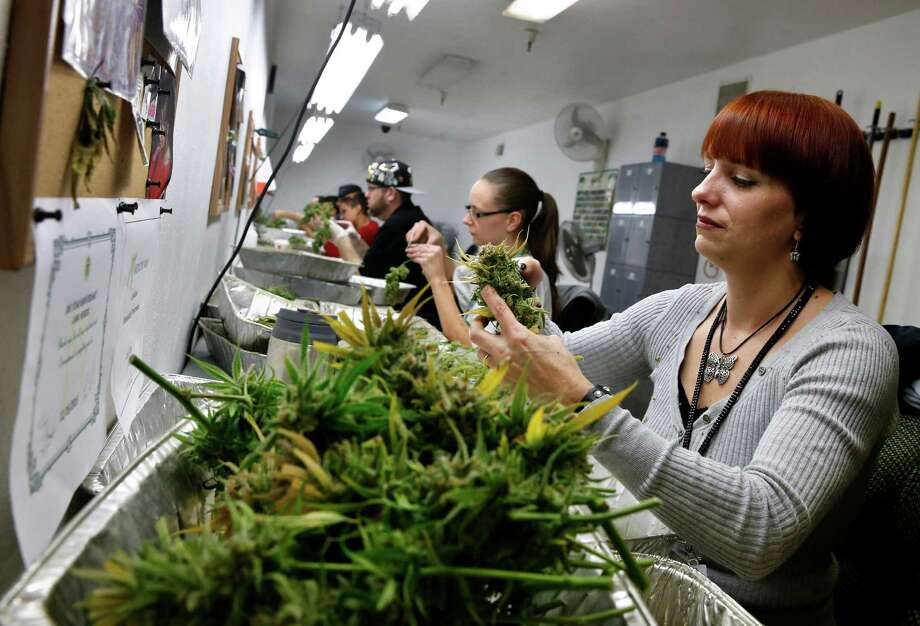 Employee Lara Herzog trims away leaves from pot plants, harvesting the plant's buds to be packaged and sold at Medicine Man marijuana dispensary, which is to open on Wednesday in Denver. Photo: Brennan Linsley, STF / AP