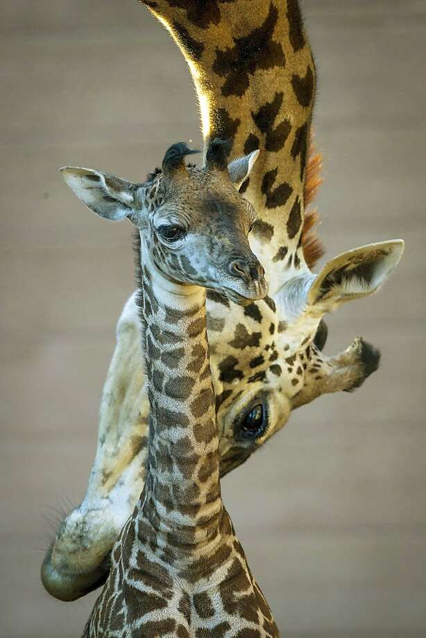 In this photo provided by the San Diego Zoo, a Masai giraffe named Bahati grooms her newborn calf at the San Diego Zoo, Tuesday, Dec. 31, 2013. The as-yet unnamed female calf was born Dec. 22, measuring 6 feet 1 inch tall and weighing 157 pounds. This is Bahati's 10th calf.  Masai giraffes are native to Africa and are threatened in some areas.  (AP Photo/San Diego Zoo, Ken Bohn) Photo: Ken Bohn, Associated Press