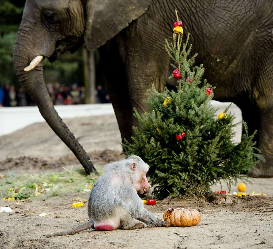 Santa brought me a rotten gourd? We missed the animals of Safaripark Beekse Bergen in Hilvarenbeek, 