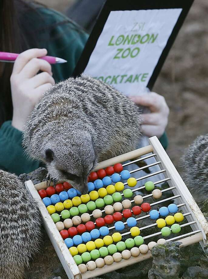 Twenty-seven plus sixteen, carry the one ...A meerkat helps with the math during the annual stocktake at the   London Zoo. Photo: Kirsty Wigglesworth, Associated Press