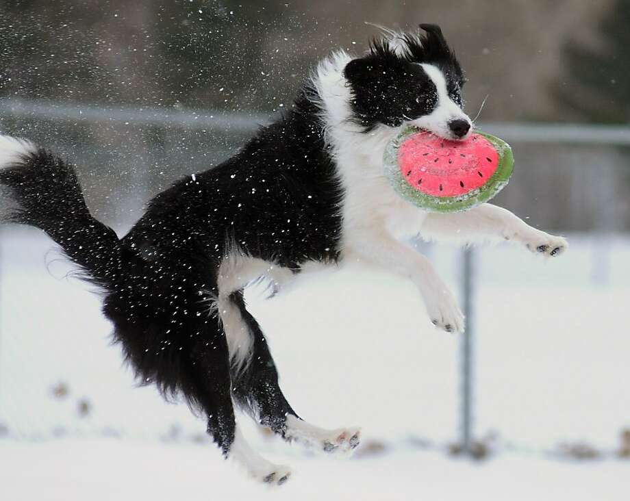 That's using his melon:Crick the border collie leaps to snag a watermelon disc thrown by his owner at Riverview Park in   St. Joseph, Mich.. Photo: Don Campbell, Associated Press