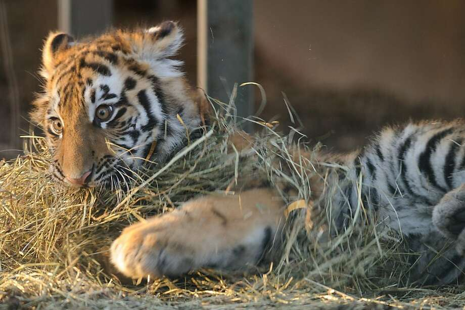 It gave him a baleful look:Provoked one too many times by the pile of hay, 6-month-old Akuma rips it to shreds in his enclosure at the Arche-Noah Zoo in Braunschweig, Germany. Photo: Tobias Kleinschmidt, AFP/Getty Images