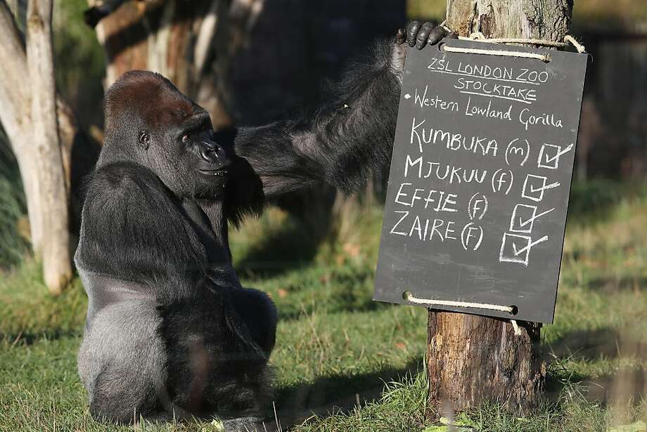 All present and accounted for: Kumbuka checks the chalkboard during the London Zoo's annual stocktake of its animals. Photo: Oli Scarff, Getty Images