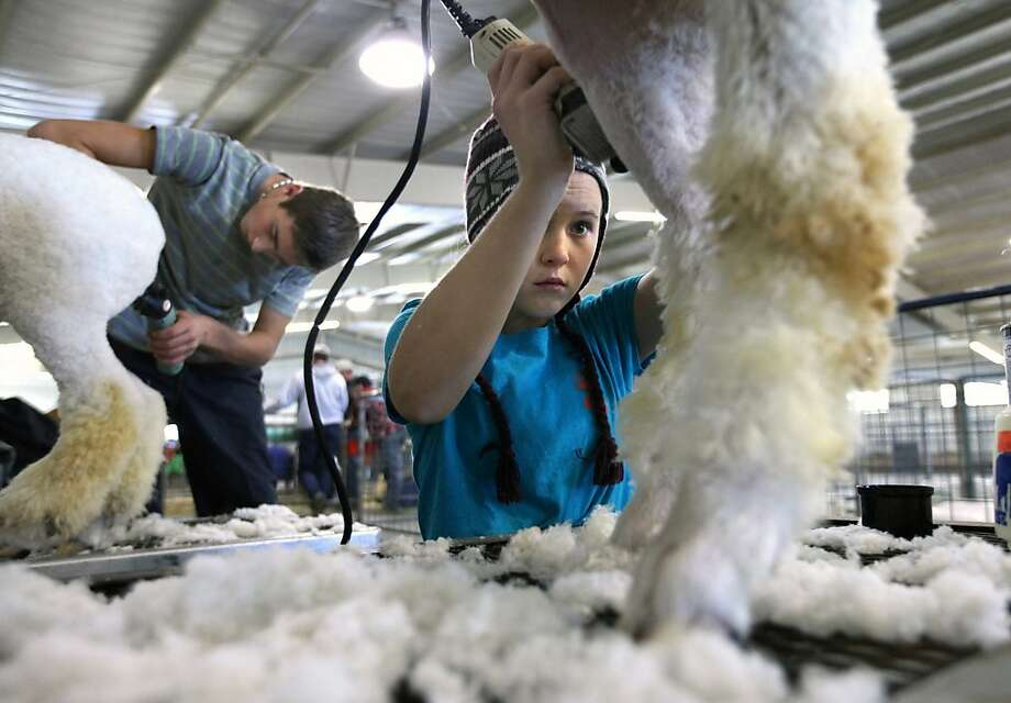 Jeyson Price, 15, and Kaili Price, 13, of Brackettville, Texas shear their sheep at the Ector County Coliseum during the SandHills Stock Show and Rodeo on Thursday, Jan. 2, 2014 in Odessa, Texas. The brother and sister both show sheep and goats and have for 8 and 6 years, respectively. (AP Photo/Odessa American, Ryan Evon) Photo: Ryan Evon, Associated Press
