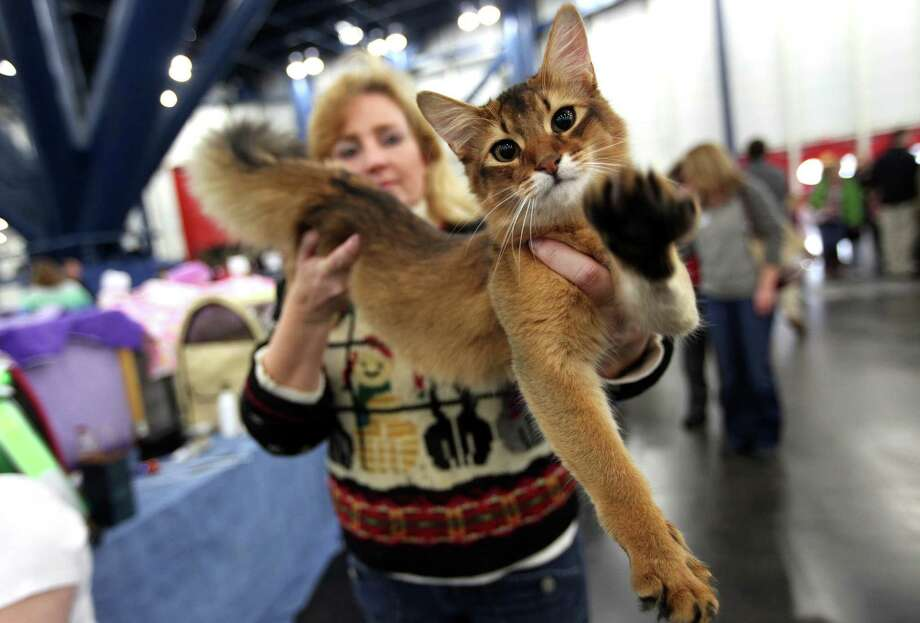 Yazoo, a Somali breed show cat from Bayoufoxes Cattery, is held by owner Anne Paul while they take a break during the Houston Cat Club 60th annual Charity Cat Show. Photo: Mayra Beltran, Staff / © 2012 Houston Chronicle