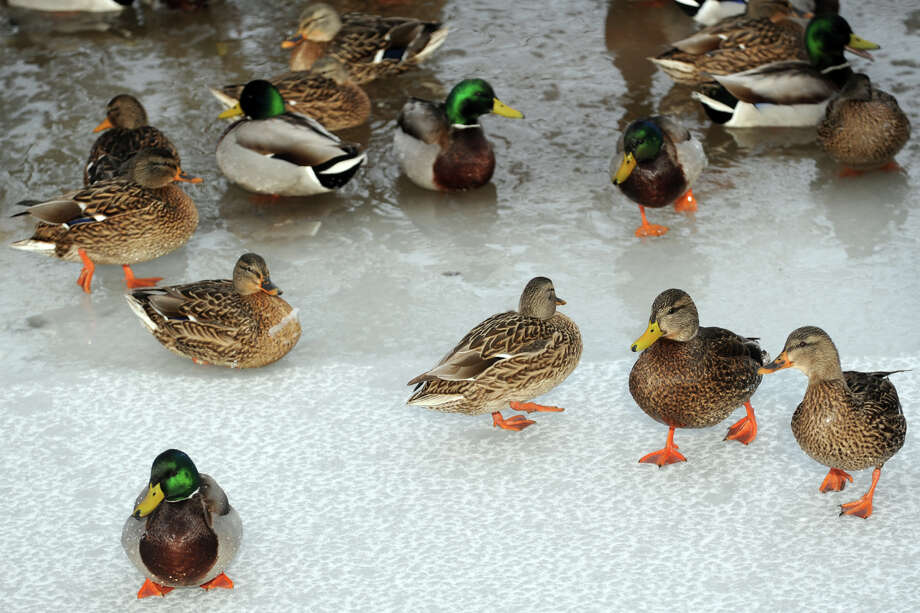 The duck pond near Brookside Drive following an overnight snowfall in Stratford, Conn., Jan. 3, 2014. Photo: Ned Gerard / Connecticut Post