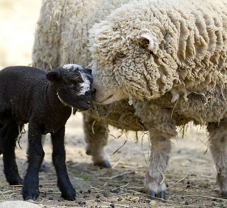 Happy ewe near!A recently born Jacob/Babydoll mix lamb nuzzles its mother in the sheep pen at the Stamford Museum 