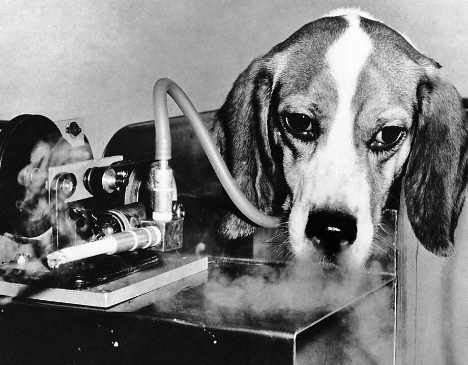 FILE - In this Nov. 28, 1966 file photo, one of the 10 beagles involved in the first test of the Veterans Administration Hospital in East Orange, N.J. smokes a cigarette through a machine linked to its windpipe by a plastic tube to test any link between smoking and emphysema. On Jan. 11, 1964, U.S. Surgeon General Luther Terry released an emphatic and authoritative report that said smoking causes illness and death - and the government should do something about it. (AP Photo) Photo: Anonymous, Associated Press
