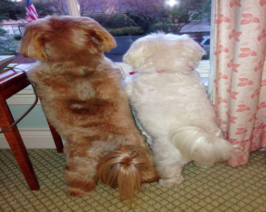 "This photo of dogs Bibi, left, and Mini Me, right,  owned by former President George H.W. Bush and Barbara Bush was sent out Saturday, Jan.4, 2014 on Twitter by their spokesman saying ""The Bushes' dogs Bibi, left, and Mini Me eagerly waiting for their Mom to come home today from @MethodistHosp. "" The photo was taken by their daughter, Doro Bush Koch.  Former first lady Barbara Bush was discharged from Houston Methodist Hospital Saturday after six days of treatment for pneumonia.  Photo credit: Doro Bush Koch Photo: Doro Bush Koch / Doro Bush Koch"