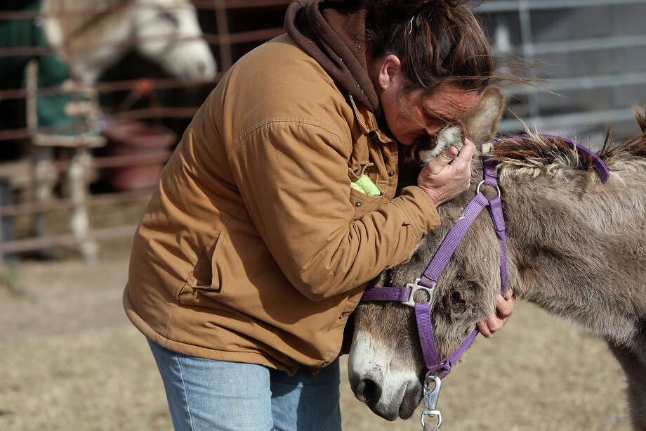 "Darla Cherry embraces Izzy, a donkey whose owner surrendered her about a year ago, after Cherry made the difficult decision to euthanize her due to her rapidly deteriorating physical heath at Meadow Haven Horse Rescue in Nixon on Thursday, January 2, 2014. ""We gave her the best life we could for the short time we had her. She's in a no pain zone now,"" Cherry said after the procedure. Photo: Lisa Krantz, San Antonio Express-News / San Antonio Express-News"