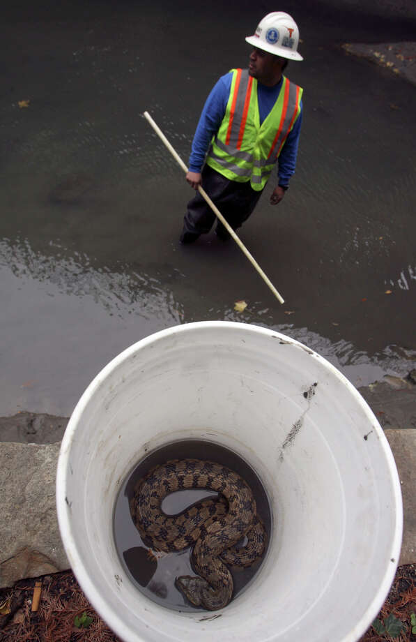 San Antonio Water System employee Thomas Rivera stands in the drained bed of the San Antonio River near Navarro street in 2009. The crew he was working with found this snake while testing water quality at the river. Photo: JOHN DAVENPORT, SAN ANTONIO EXPRESS-NEWS / jdavenport@express-news.net