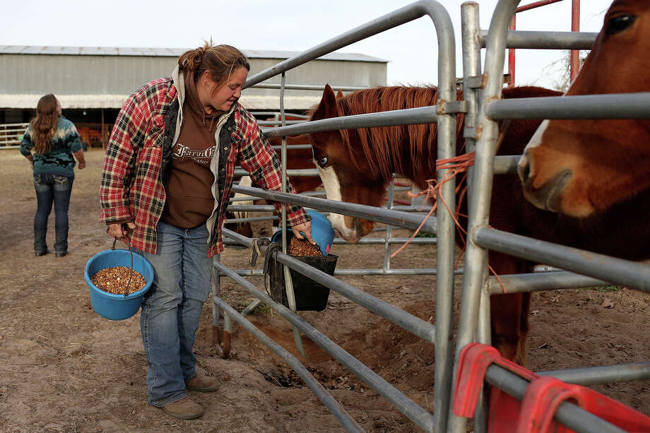 Jessica England feeds Gypsy and Rogue, right, Meadow Haven Horse Rescue in Nixon on Thursday, January 2, 2014. Rogue and Gypsy both came to the facility after a seizure of abused horses. Photo: Lisa Krantz, San Antonio Express-News / San Antonio Express-News