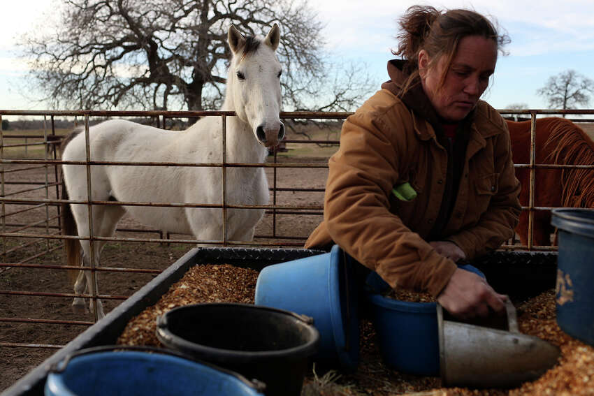 For the past year, more than 14 dozen rescued horses - some ready for adoption; others old, injured and unlikely to ever leave - have resided at a 193-acre sanctuary in Nixon. It was a huge step up from the 31-acre property where Haven Horse Rescue and Sanctuary previously operated. But the 170 equines, 11 donkeys and two cows - many of which have been seized or rescued as strays in Bexar County - could soon be displaced. - J. Almendarez, Staff Writer More: Go to ExpressNews.com to read the story. In the above photo: Darla Cherry puts out feed and hay for the 170 horses living at Meadow Haven Horse Rescue in Nixon on Thursday, January 2, 2014. In addition to the horses 11 donkeys live there.