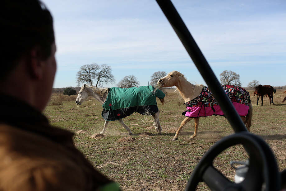 Horses run as Darla Cherry puts hay bales out for them at Meadow Haven Horse Rescue in Nixon on Thursday, January 2, 2014. Photo: Lisa Krantz, San Antonio Express-News / San Antonio Express-News