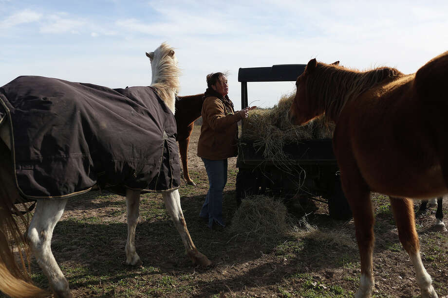 Darla Cherry feeds hay to a group of the 170 horses living at Meadow Haven Horse Rescue in Nixon on Thursday, January 2, 2014. 11 donkeys also live there. Photo: Lisa Krantz, San Antonio Express-News / San Antonio Express-News