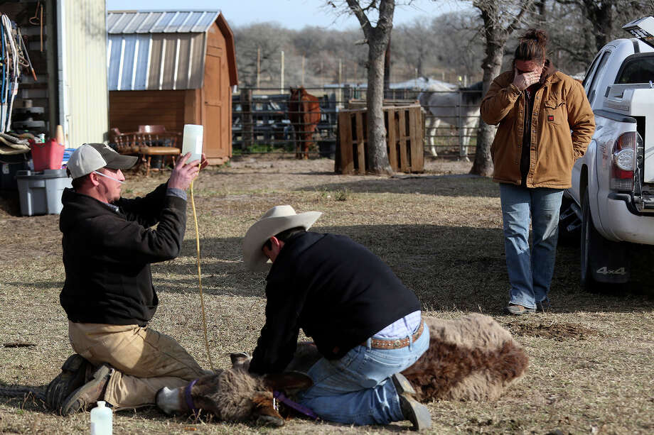"Darla Cherry is emotional as Dr. John Withers, far right, of Shiner, and veterinary technician Klint Kahn euthanize Izzy, an elderly donkey whose health was rapidly declining and was having trouble walking, at Meadow Haven Horse Rescue in Nixon on Thursday, January 2, 2014. Izzy came to Meadow Haven as an owner surrender about a year ago. ""I wanted to stop them so many times but I know that would not be the right thing to do,"" Cherry said after watching the process to end Izzy's suffering. Photo: Lisa Krantz, San Antonio Express-News / San Antonio Express-News"