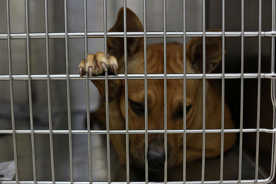 Lucy awaits spaying surgery at the San Antonio Pets Alive! adoption center in San Antonio on Nov. 8, 2013. Photo: Lisa Krantz, San Antonio Express-News / San Antonio Express-News