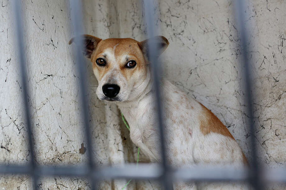 A dog picked up by Animal Care Services looks out of his cage in the ACS truck in San Antonio on October 30, 2013. The dog was euthanized later after it was determined not to be adoptable. Photo: Lisa Krantz, San Antonio Express-News / San Antonio Express-News